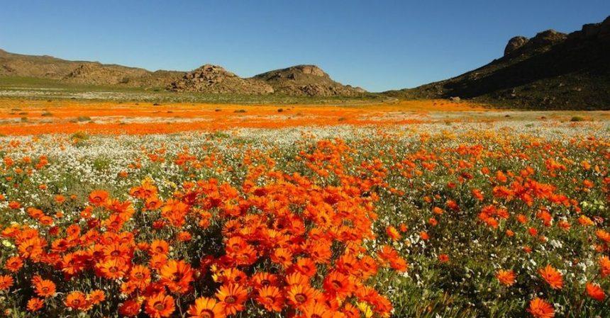 Il deserto fiorito del Sudafrica: spettacolo romantico
