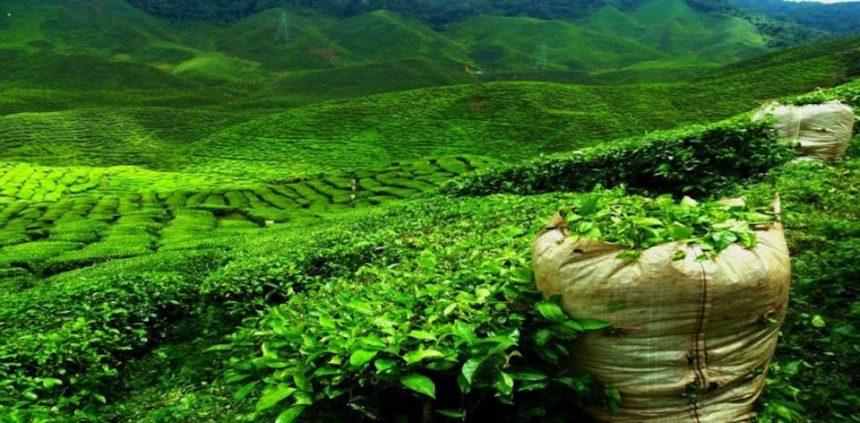 Il tè dello Sri Lanka compie 150 anni: 5 cose che forse non sai sul nero di Ceylon