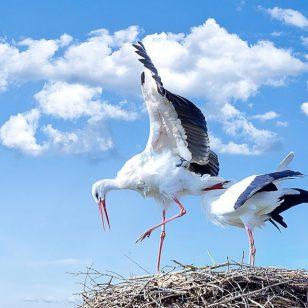 cicogna-bianca