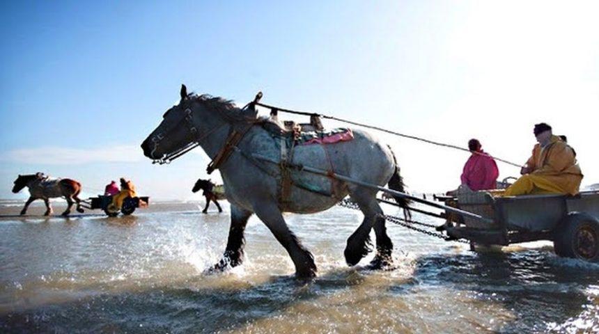 Fiandre: la curiosa arte della pesca dei gamberetti a cavallo