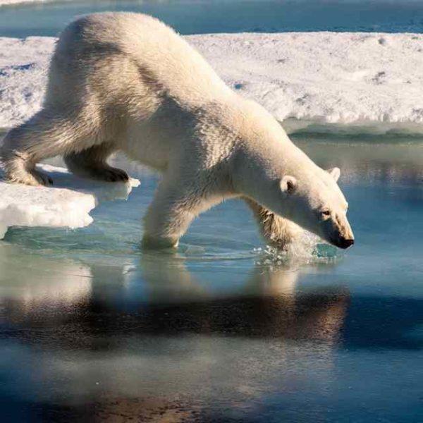 Polar bear taking bath