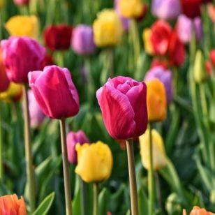 tulip-3345355_960_720