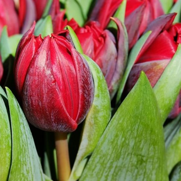 In Sicilia come in Olanda: tulipani rossi colorano Blufi