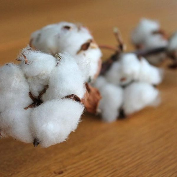 cotton-branch-1271038_960_720