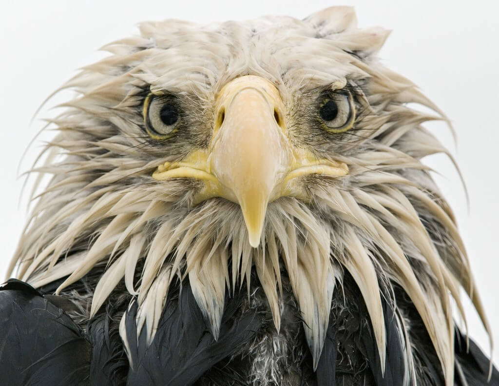 28_Bold eagle © Klaus Nigge - Wildlife Photographer of the Year