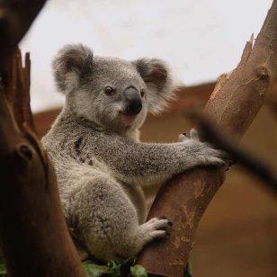 koala-3055832_960_720