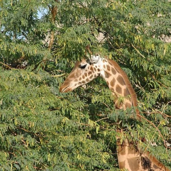 giraffe-1473907_960_720