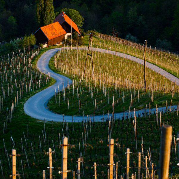 Zgornja Kungota, Gaube, vinograd, trta, srce.