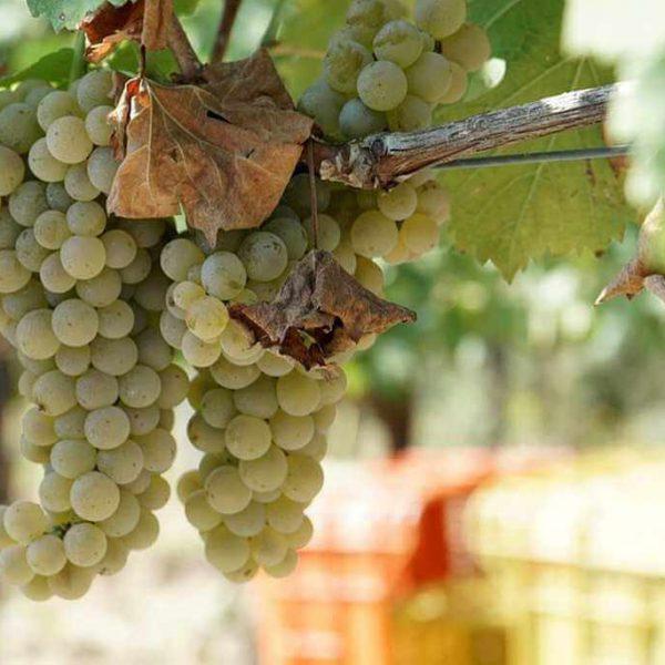 grapes-1158327_960_720